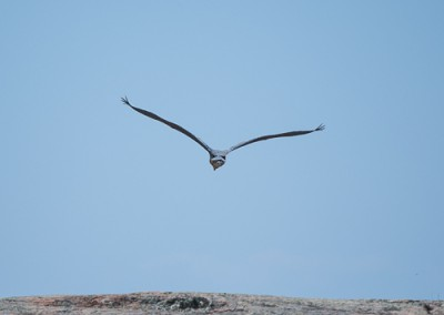 Blue Heron Flying 2