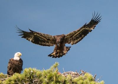 Eaglet 7.31 d