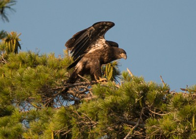 Eaglet e 8.5.14