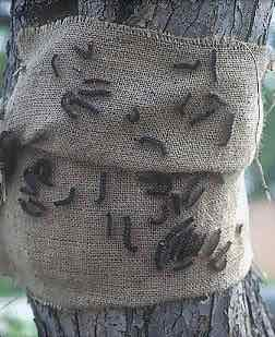 Gypsy Moth Burlap bands (Bill McNee, Wisconsin Dept. of Natural Resources)