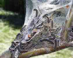 (Up) Do not confuse with the eastern tent caterpillars seen here, Steve Katovich, US Forest Services, Bugwood.org; (Insert) Eastern tent caterpillars