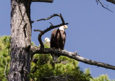 eaglet_10