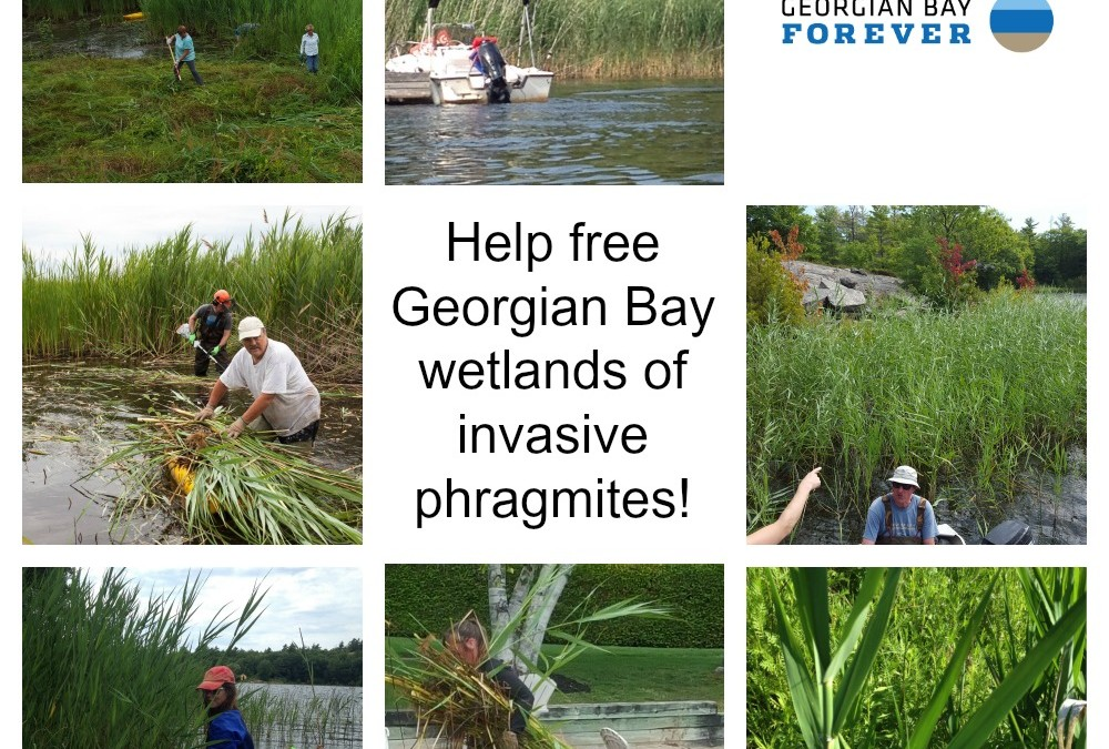 GBF Invasive Phragmites Workshops