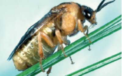 Introduced Pine Sawfly IPS Update – Spring 2016